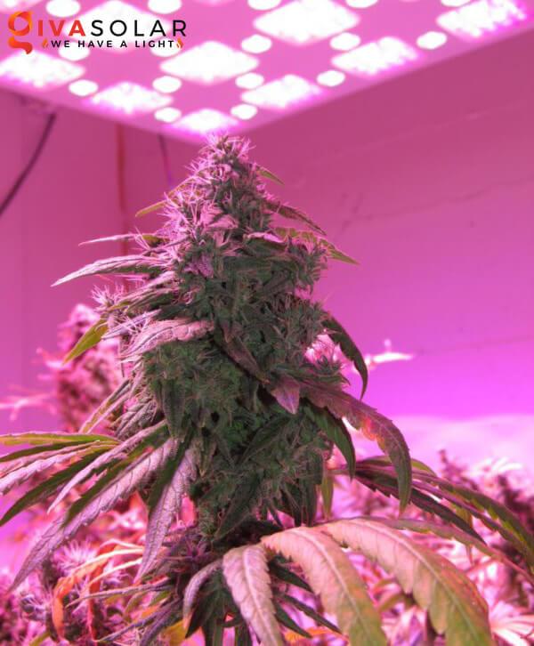 Tại sao đèn LED lại được ứng dụng vào trồng cây 1